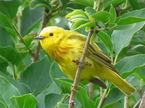 Image result for yellow warbler