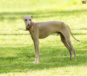 Italian Greyhound Dog Breed | Facts, Highlights & Buying ...