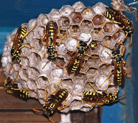 Preventing Wasps From Building Nests in Your Backyard | Muskego, WI Patch