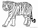 Coloring Tiger Wild Animals Animal Pages sketch template