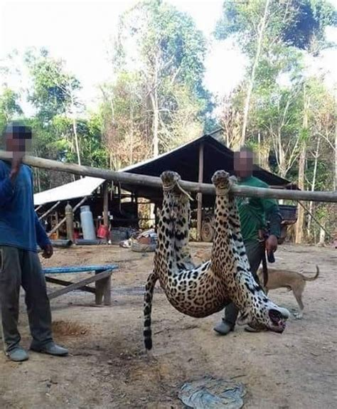 Jaguars Moving by Jaguars Cruelly Poached To Fuel Traditional Asian