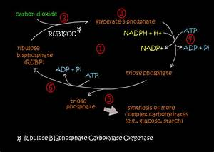 Equation For Light Dependent Reaction Of Photosynthesis