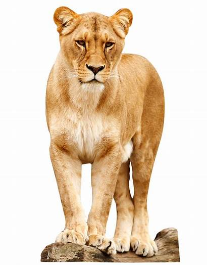 Lion Standing Female Animals Transparent Picsart Pngpix