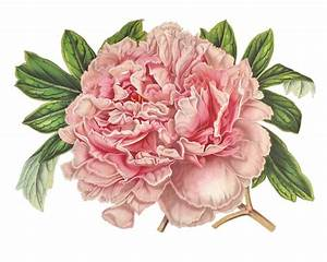 Items similar to Pink Peony Flowers / Vintage French ...