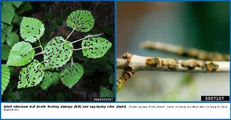 viburnum leaf beetle wisconsin horticulture