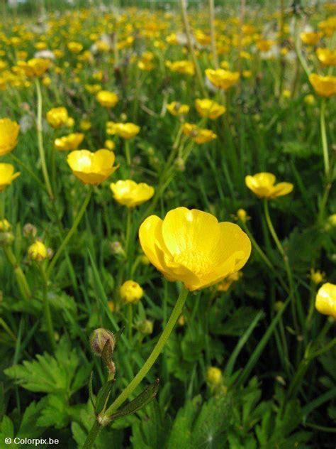 foto butterblume  kostenlose fotos zum ausdrucken