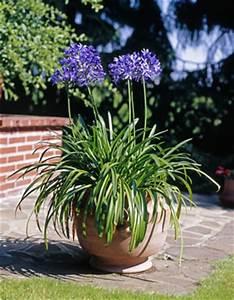 Kübelpflanzen Für Terrasse : schmucklilie agapanthus pflege und berwintern ~ Lizthompson.info Haus und Dekorationen