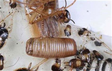 Cockroach Egg Cases Are Hidden   Colonial Pest Control
