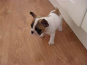 Ready to go now french Bulldog chocolate carries ...