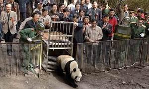 China to release six giant pandas into wild   Environment ...