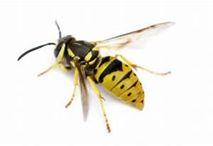 Differences Between Bees, Wasps, Yellow Jackets & Hornets ...