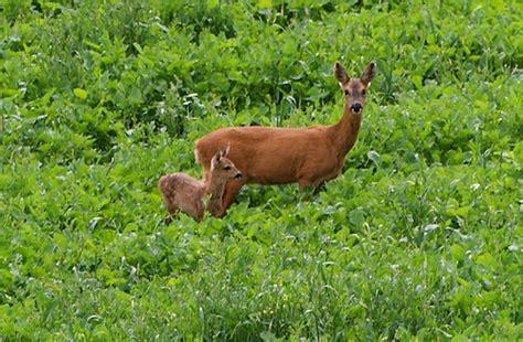 Bambi Roe Deer And Mum  Bambi Roe Deer And Mum 15th June