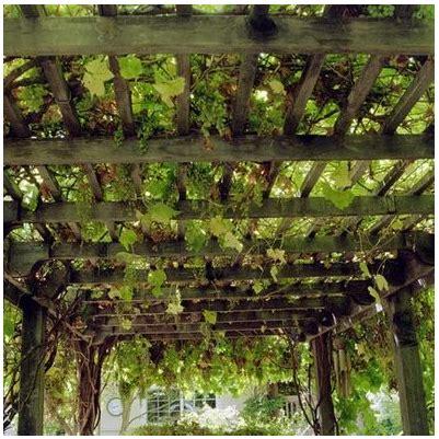 grape arbor vine  shade getgardentipscom