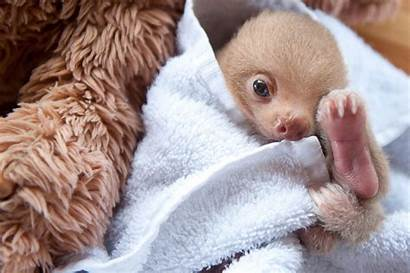 Sloths Adorable Sloth Too Sleeping Rescued Them