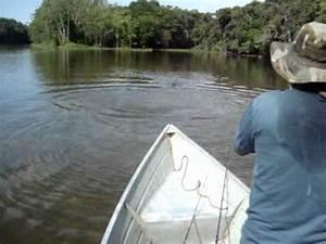 ataque jacaré açu rio cururu trairão (For licensing and ...