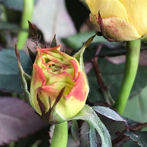winterharte rosen im kuebel fruehlingsgarten winterhart