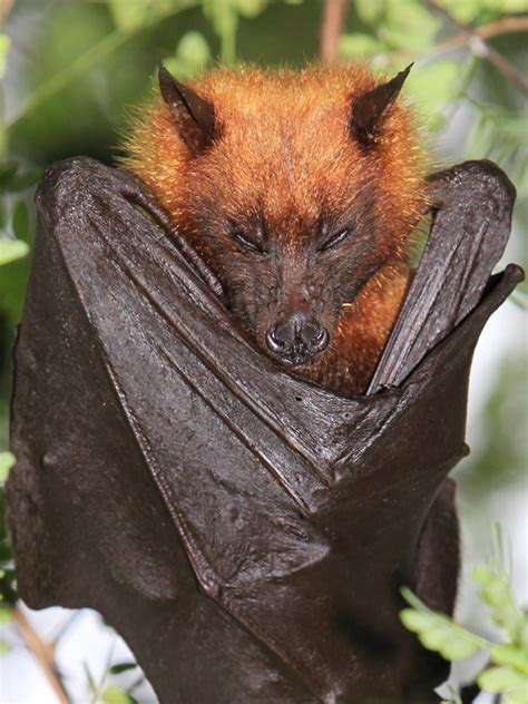 Giant Golden-Crowned Flying-Fox - Bat Facts and Information