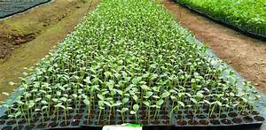 Watermelon Cultivation In India  Beginner U0026 39 S Guide To