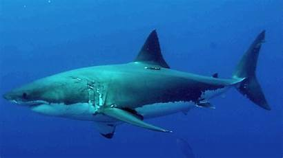 Shark Island Guadalupe Carcharodon Carcharias Chondrichthyes San