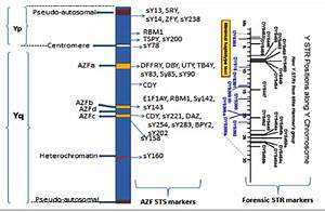 The Diagnostic Sts And Str Markers For The Y Chromosome