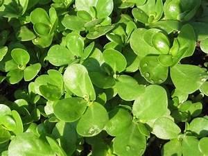 Portulak Pflanzen Kaufen : saatgut samen portulak portulaca sativa pflanzen ~ Michelbontemps.com Haus und Dekorationen