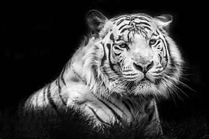 Wallpapers tigre blanco HD - Imagui