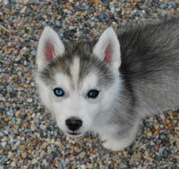 Husky Puppies with Different Colored Eyes