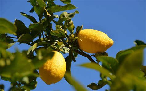 come potare il limone in vaso come potare il limone come potare consigli per potare