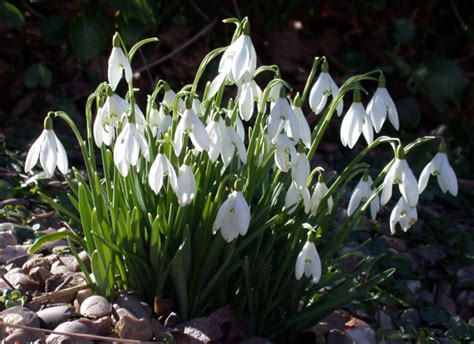 5 snowdrops early flowers bulbs by wetnwildgardens