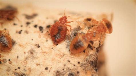 do bed bugs come out in light are bed bug bylaws a idea macleans ca