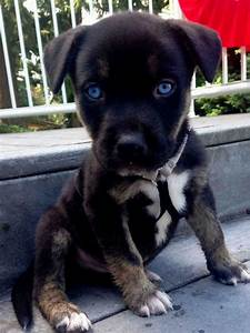 Pitbull Mix Puppies | Puppies Puppy