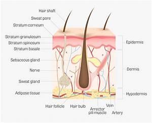Arm Skin Diagram Wiring Diagram Lip Skin Diagram Skin