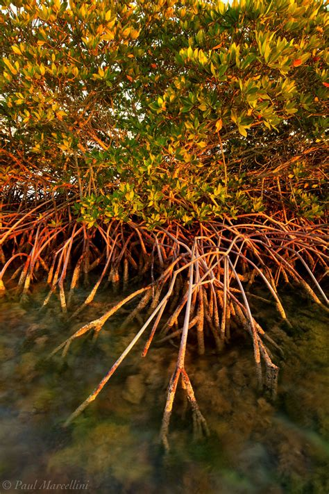 red mangrove big torch florida keys florida florida