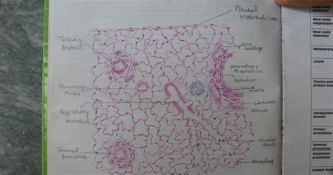 histology   histological diagram  lung