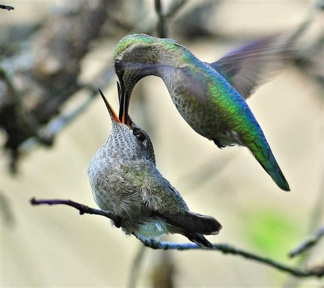hummingbird feeding time f 229 glar pinterest f 228 rgglada