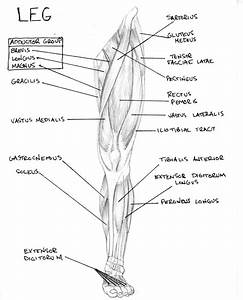 Leg Muscle Diagram By Fmdc On Deviantart