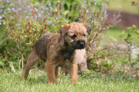 Border Terrier Dog Breed Information Buying Advice