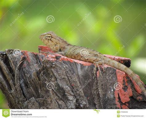 chameleon or garden lizard basking on tree stump stock