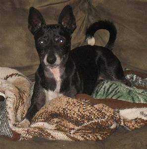 Rat Terrier Info, Temperament, Care, Puppies, Pictures
