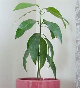 Planter Noyau Mangue : faire germer un noyau de mangue jardiner observer ~ Melissatoandfro.com Idées de Décoration