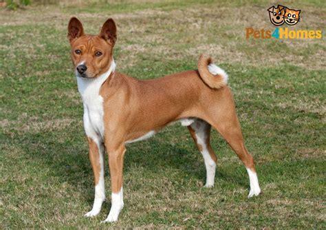 basenji dog breed information buying advice photos and