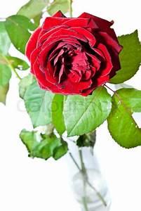 Einzelne Blume Vase : einzelne rose mit bl ttern in einer vase stockfoto colourbox ~ Indierocktalk.com Haus und Dekorationen