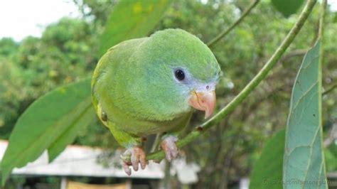 cotorrita amazonica nannopsittaca dachilleae aves