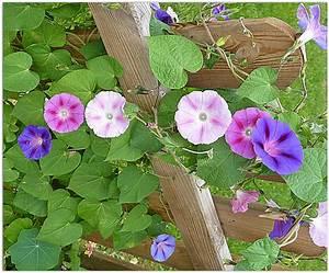 Treillage Plante Grimpante : choisir une plante grimpante ~ Dode.kayakingforconservation.com Idées de Décoration