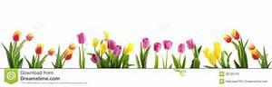 Tulip Flower Spring Border Isolated On White Stock Photo ...