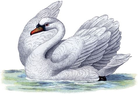 best free clipart best free swan image the graphics