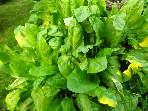 comment cuisiner les legumes des légumes vivaces pour un potager éternel l 39 oseille 2