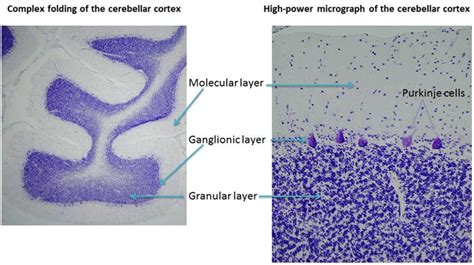 the cerebellum morphology of nervous system