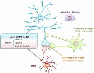 Mouse Models Expressing Mhtt In Different Types Of Neurons