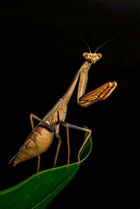 brown praying mantis close  photo  stock photo